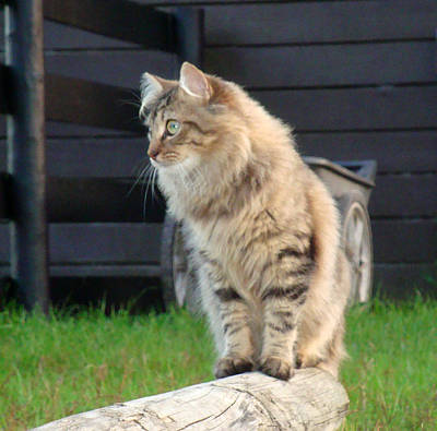 Poster featuring the photograph Cougar The Barn Cat 2 by Barbie Batson
