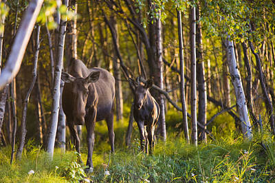 Cow And Calf Moose In Birch Forest Poster
