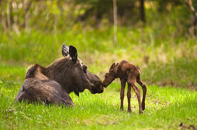 Cow And Calf Moose In Grass, Kincaid Poster by Michael Jones