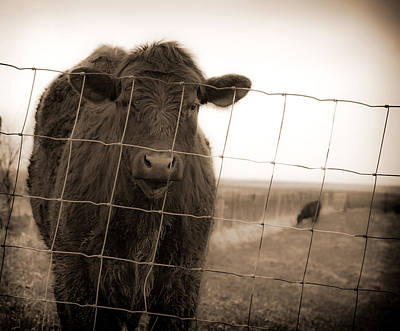 Cow At Fence In Sepia Poster