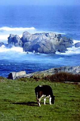 Cow Grazing By The Ocean Poster