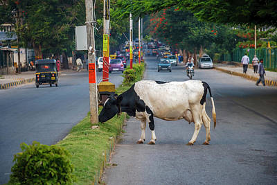 Cow Grazing On The Street, Bangalore Poster by Ali Kabas