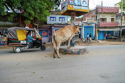Cow In The Middle Of The Street Poster