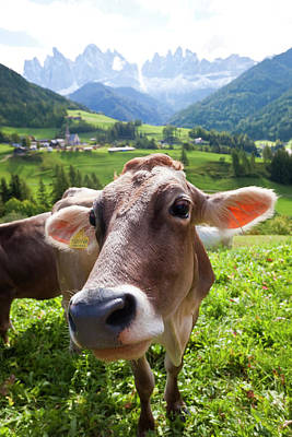 Cow In Valley, Italy, Near Bolzano, Val Poster by Peter Adams