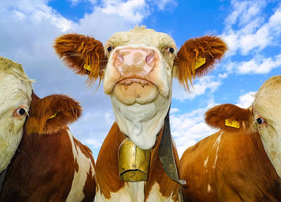 Cow Looking At You - Funny Animal Picture Poster by Matthias Hauser