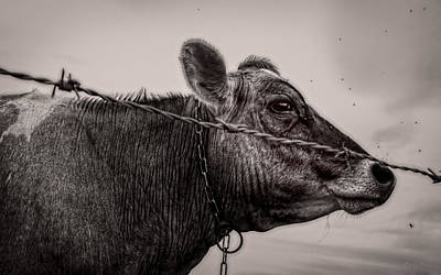 Poster featuring the photograph Cow With Flies by Bob Orsillo