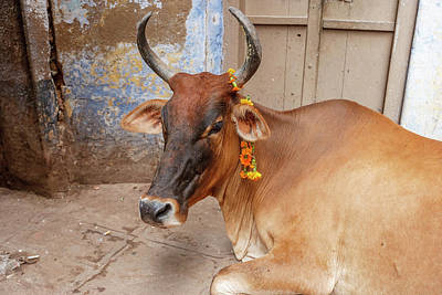 Cow With Flowers, Varanasi, India Poster