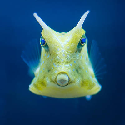Cowfish On Blue Poster by Izzy Standbridge