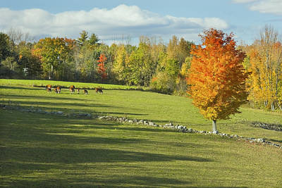 Cows Grazing On Maine Farm Field In Fall  Poster by Keith Webber Jr