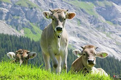 Cows In An Alpine Pasture Poster