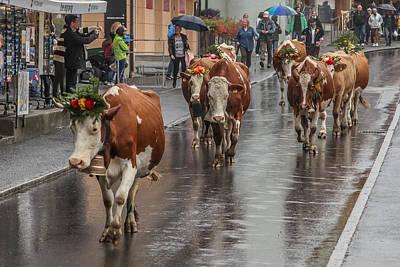 Cows In Wengen Switzerland Poster