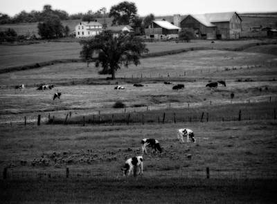 Cows On The Amish Farm Poster