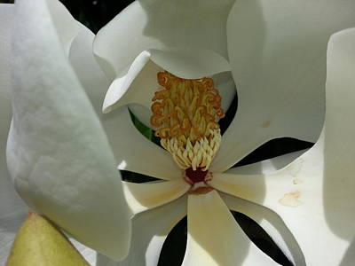 Poster featuring the photograph Coy Magnolia by Caryl J Bohn