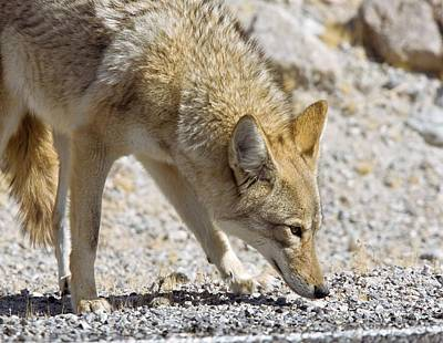 Coyote At A Roadside Poster by Science Photo Library