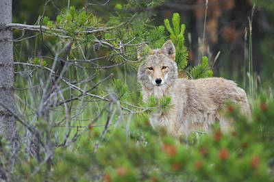 Coyote Behind Pine Tree Poster by Ken Archer