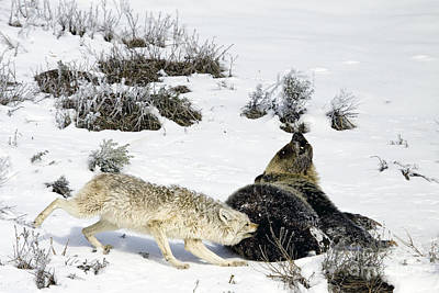 Poster featuring the photograph Coyote Biting A Grizzly by J L Woody Wooden