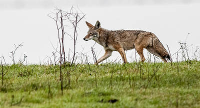 Poster featuring the photograph Coyote by Brian Williamson