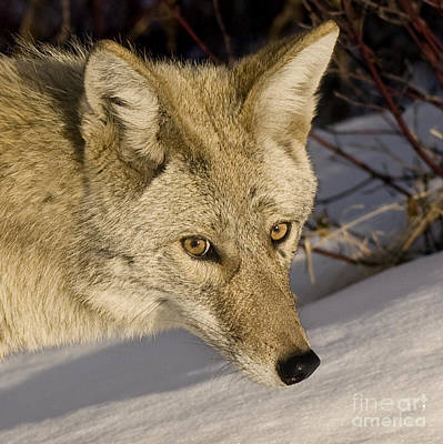 Coyote Closeup Poster by Dee Cresswell
