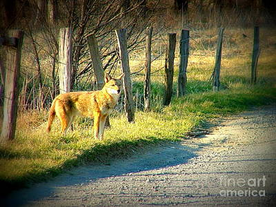 Coyote In Cades Cove Poster