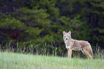Coyote, Late Spring Poster by Ken Archer