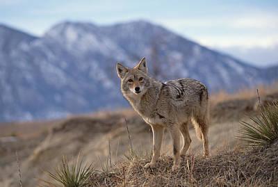 Coyote On Ridge Line Colorado Poster by Konrad Wothe