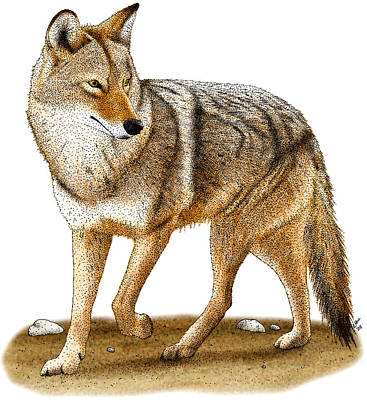 Coyote Poster by Roger Hall