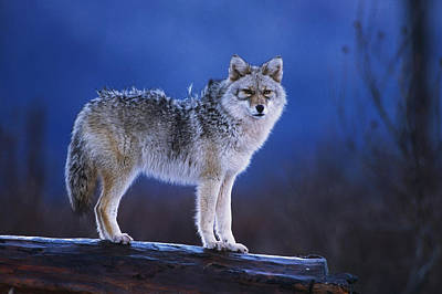 Coyote Standing On Log Alaska Wildlife Poster by Doug Lindstrand