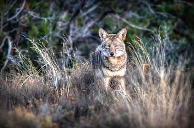 Coyote Stare Down Poster