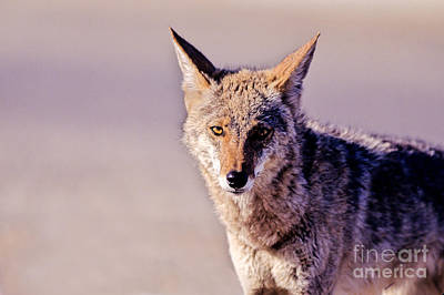Coyote Stares Poster