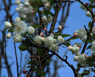 Crab Apple Blossoms 2013 Poster
