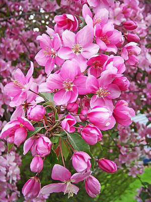 Crab Apple Blossoms Poster by Aimee L Maher Photography and Art Visit ALMGallerydotcom