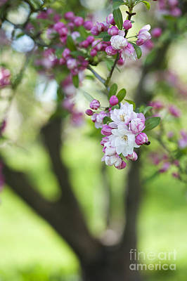 Crab Apple Snow Cloud Tree Blossom Poster by Tim Gainey