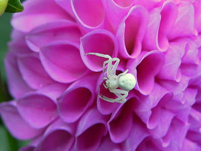 Crab Spider And Dahlia Poster