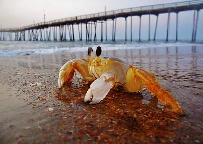 Crab Waiting On The Sunrise Avon Pier Poster by Mark Lemmon