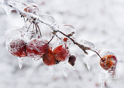 Crab Apples On Icy Branch Poster