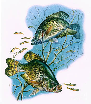 Crappie Vignette Poster by Jon Q Wright