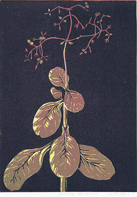 Crassula Multica Va Poster