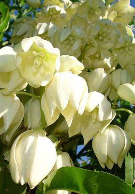 Cream Flowers Of A Cordyline Cabbage Tree  Poster