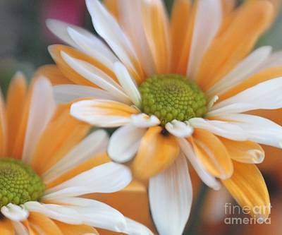 Poster featuring the photograph Creamsicle Daisies by Mary Lou Chmura