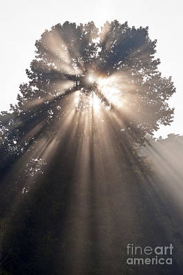 Crepuscular Rays Coming Through Tree In Fog At Sunrise Poster