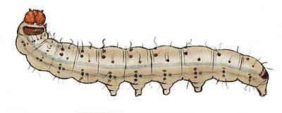 Crescent Caterpillar Poster by Mikkel Juul Jensen