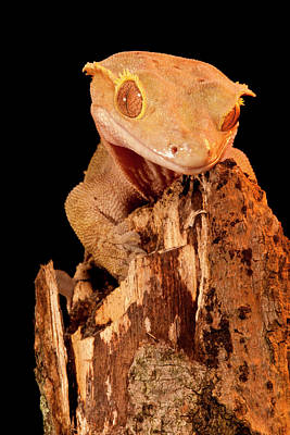 Crested Gecko, Rhacodactylus Ciliatus Poster by David Northcott