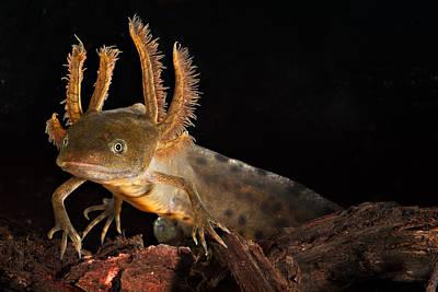 Crested Newt Larva Poster by Dirk Ercken