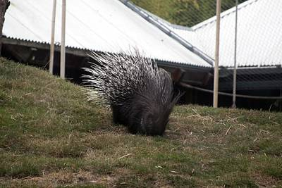 Crested Porcupine - 0006 Poster by S and S Photo