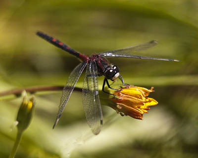 Poster featuring the photograph Crimson-ringed  White Face Dragonfly On Flower by Lee Kirchhevel