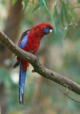 Crimson Rosella Parrot Canberra Poster by Martin Willis