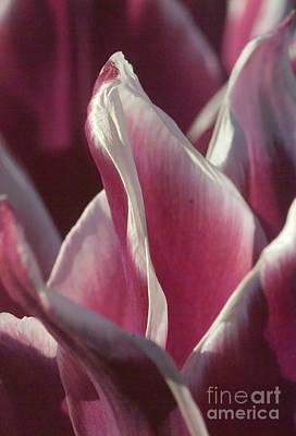 Poster featuring the photograph crimson Tulip by Rudi Prott