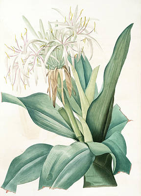 Crinum Asiaticum, Crinum Dasie, Poison Bulb Poster by Artokoloro