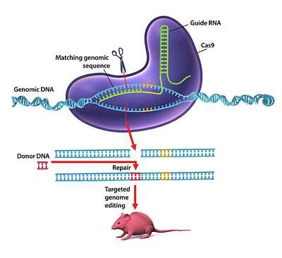 Crispr-cas9 Gene Editing Poster by Gunilla Elam