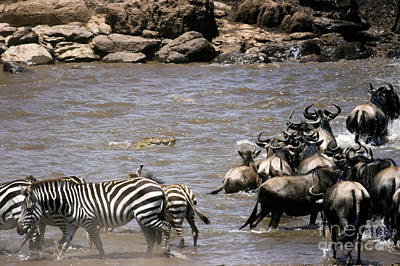 Crocodile Watching Zebra And Wildebeest Poster